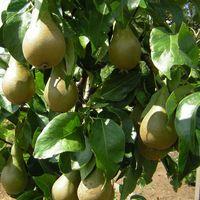 De perenboom