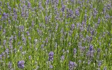 Tuinonderhoud familie Wolters Venlo - Lavendel