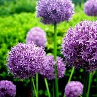 Allium aflatunense 'Purple Sensation' (sierui)
