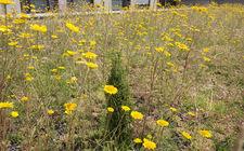 beplanting Groen-blauw-dak gemeente Landgraaf