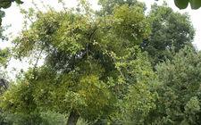 Appelboom met Maretakken