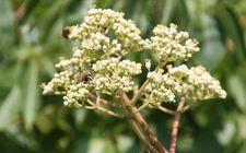 Bijenboom