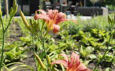 Hemerocallis 'Pink Damask'
