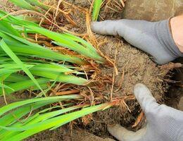 Planten scheuren